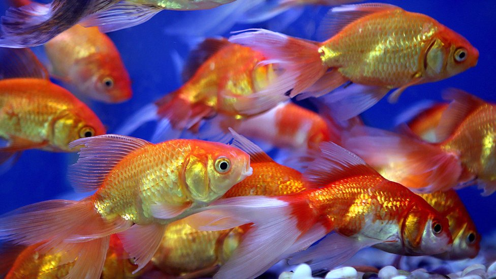 A file photo of goldfish